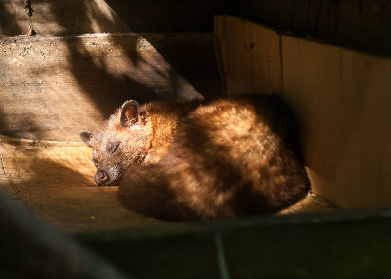 Civet sleeping