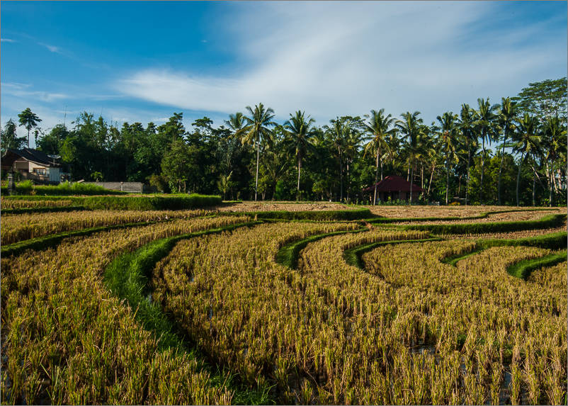 Ubud - Campuhan Walk - Rice Paddies