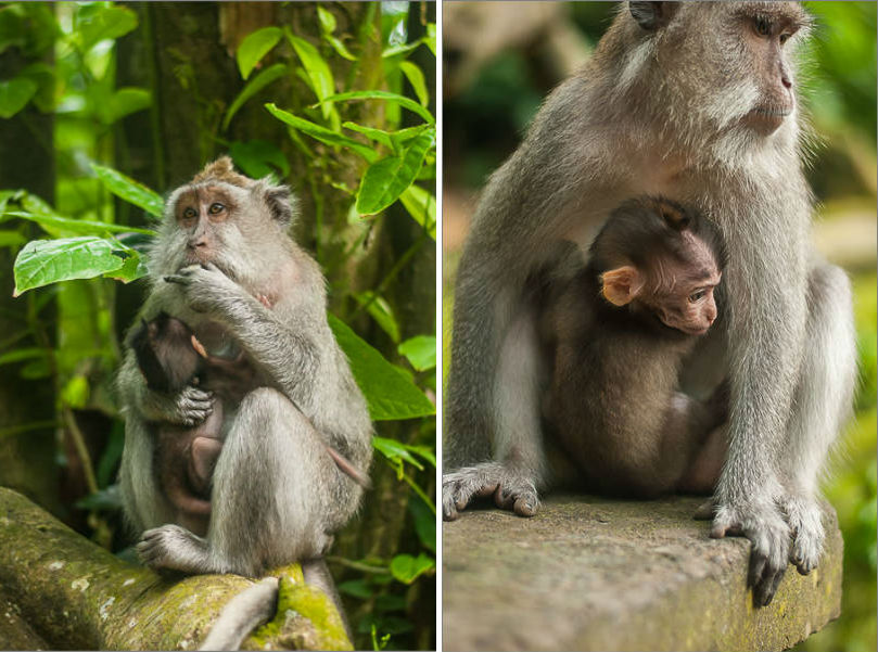 Ubud - Monkey Forest - Babies