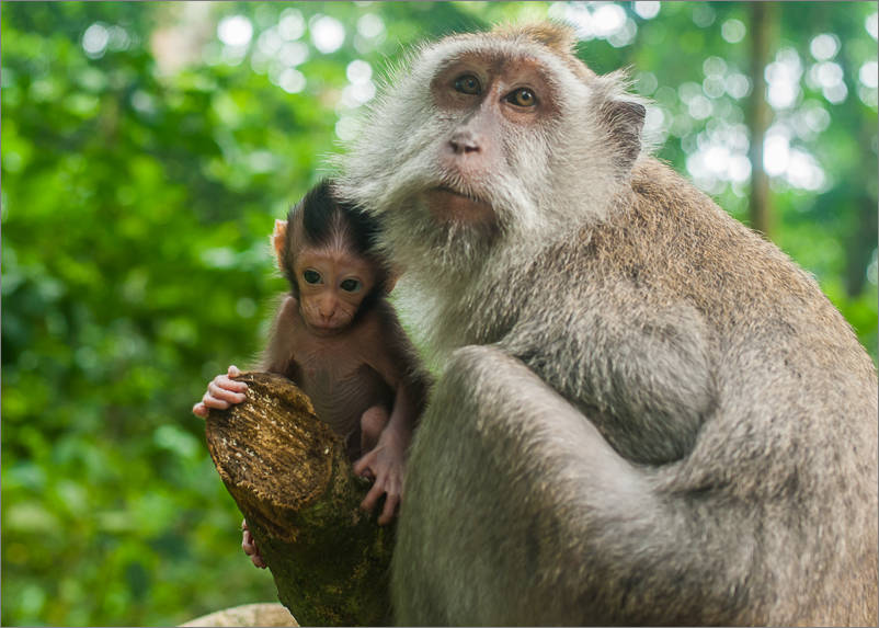 Ubud - Monkey Forest - Baby 1