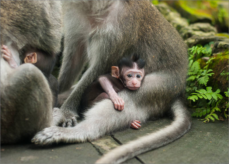 Ubud - Monkey Forest - Baby Monkeys