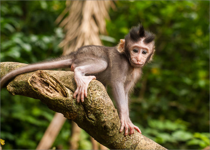 Ubud - Monkey Forest - Baby Punk