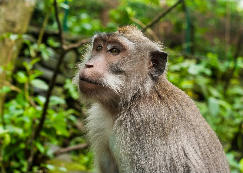 Ubud - Monkey Forest - Close up
